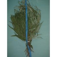 Веник эвкалиптовый (длиннолистый) Абхазия