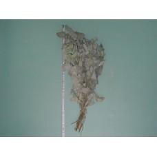Веник эвкалиптовый (серебристый) Абхазия